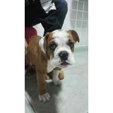 Hermoso Cachorro Bulldog Ingles