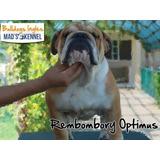 Bulldog Ingles Semental Pedigree Impresionante!! Op4