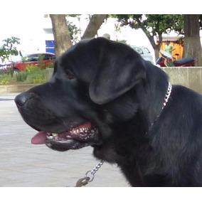 Labrador Retriever Negro -semental Reproductor Para Montas-
