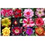 20 Sementes Rosa Do Deserto Adenium Cores Diversas Flor Mix