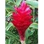 Hawaiana Roja ( Planta ) , Alpinia Purpurata , Mediasombra