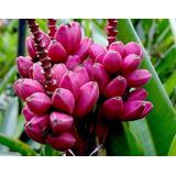 Pink Banana | Muda | Banana Rosa | Velutina | Exuberante