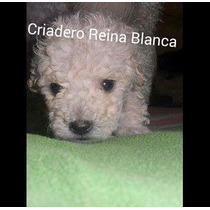 Caniche Toy Macho Blanco Con Pedigree