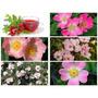 Rosa Canina Flor Bonsai Comestible Semillas Para Plantas