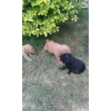 Caniches Toy Y Yorkshire Terrier.