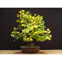 Sementes Bonsai Ginkgo Biloba P/ Mudas Árvore Medicinal Flor