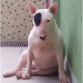 Filhote Fêmea De Bull Terrier Diferenciados