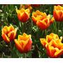 Tulipanes - 10 Bulbos - Origen: Argentina