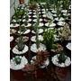 Cactus Y Crasas De Cultivo Propio En Macetas N 9 C/piedritas