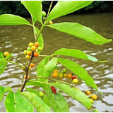 Semente Frutas Raras Doces Saborosas Allophylus Cobe Plantas