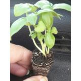 Plantines De Huerta Albahacas Ciboullettes Perejil