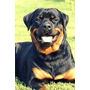 Quiero Adoptar Un Perro De Raza Rotweiler Solo Adoptar