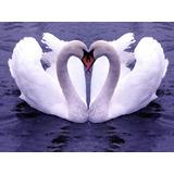Quadro Decorativo 2 Cisnes Para Sala E Quarto 60cm X 40cm