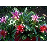 Bromelia Guzmania Roja Y Fuccsia - En Flor