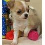 Chihuahua Cabeza De Manzan