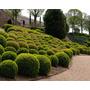 Buxus Sempervirens Buxinho Bonsai Cerca Viva Sementes P/muda