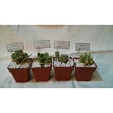 Mini Cactus, Crasas Y Suculentas Souvenirs/ Decoración