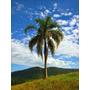 Muda De Palmeira Jerivá - 15 A 25cm - 12x S/ Juros