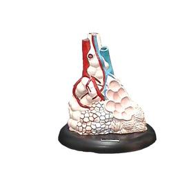 Modelo Anatomico De Alveolo Pulmonar Gigante
