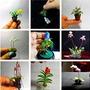 60 Sementes Mix Mini Orquídea +10 Pinheiro Negro Japonês
