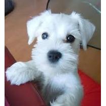 Cachorro Schnauzer Miniatura Blanco Enviós Al Pais Navidad