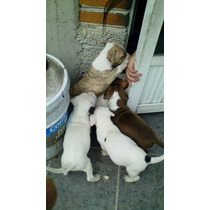 Cachorros Pitbull Originales De Ojos Azules Y Cafes De 1 Mes