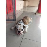 Bull Dog Inglés Para Monta Servicio Busca Novia
