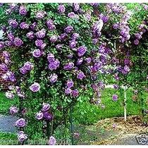 Semillas Exóticas Rosal Trepador Enredadera Purpura Rosas