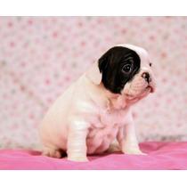 Cachorros Bulldog Francés Machos Y Hembras Fca