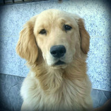 Golden Retriever Para Servicio Busca Novia Macho