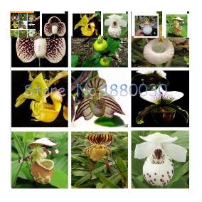 30 Sementes De Orquídeas Cypripedium Australian 24 Cores***
