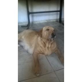 Cachorros Labrador Retrievers Puros !!!
