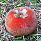 Muda De Mabolo Plantas Arvores Frutíferas Jadinagem