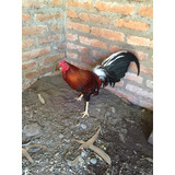 Gallo Inglés Linea Colorado