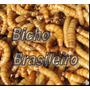1000 Larvas Vivas De Tenebrio Molitor (comum) Bicho Do Pão