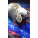 Conejos Holland Loops (orejas Caidas)