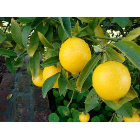 Limoneros, Naranjos, Mandarinos Y Pomelos