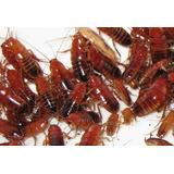 Cucarachas Runner X50