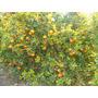 Arbol De Mandarina, Naranja, Citricos, Limoneros, Pomelos!