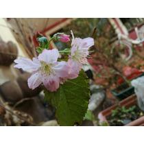 Cerezo Japonés (prunus Serrulata) Pre-bonsai Auténtico