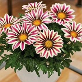 Sementes De Gazania Sortida - 20 Sementes Para Mudas - Flor