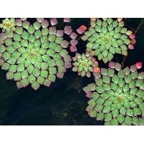 Planta Mosaico.lagos,aquarios.jardins.vasos.promoção