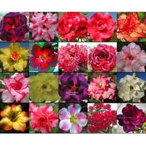 10 Sementes Rosa Do Deserto Mix Adenium Obesum