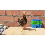 Pollos Piqueros Gallina Gallo Pollo De Pela Pico Y Espuela