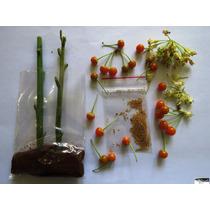 Fruta Do Sabiá - 02 Estacas + 100 Sementes .. Frete R$ 15