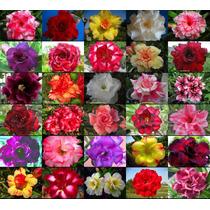 10 Sementes De Rosa Do Deserto Cores Mix De 30 Cores