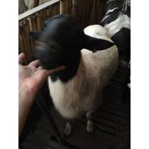 Carneiros/ovelhas Dorper, Santa Inês E 1/2 Dorper X S Inês.