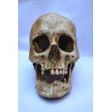 Cráneo De Humano De Resina !!! Zona Oeste Y Capital Federa