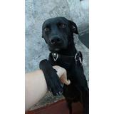 Macho Simil Labrador (cruza) 3 Años Adopción