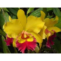 Kit Com 15 Lindas Orquídeas Cattleya